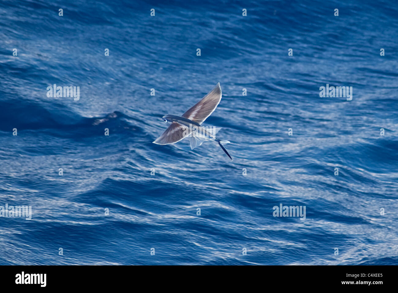 Flying fish species scientific name unknown rare unusual for Flying fish name