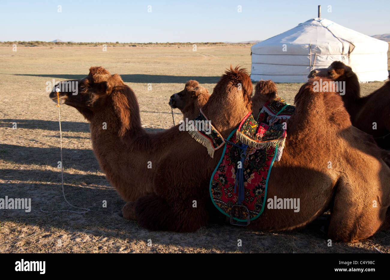 Two Humped Bactrian Camel