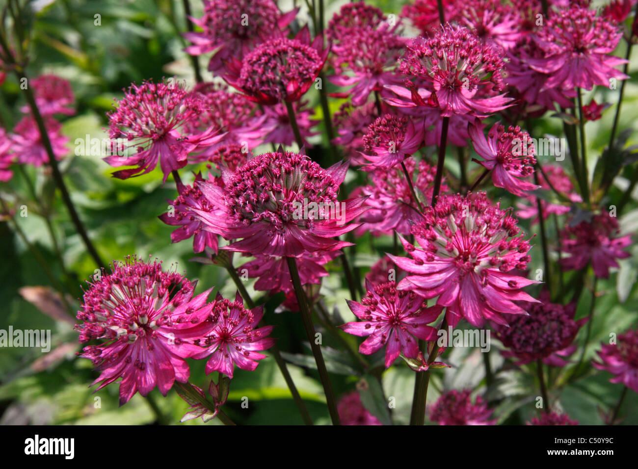 Red Flowers Of Garden Plant Astrantia Major Ruby Wedding