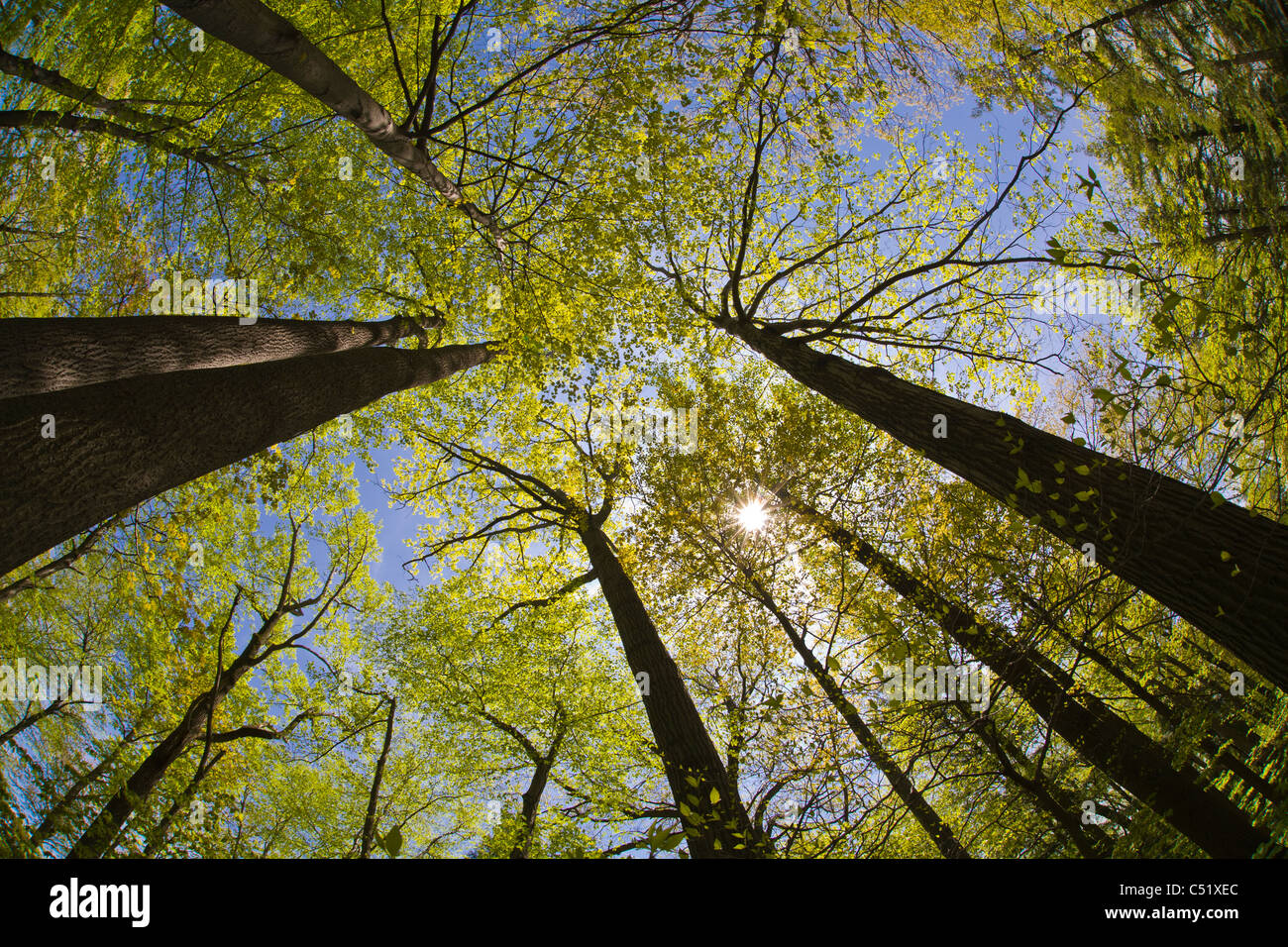 looking up into tops of trees with spring leaves in rochester new