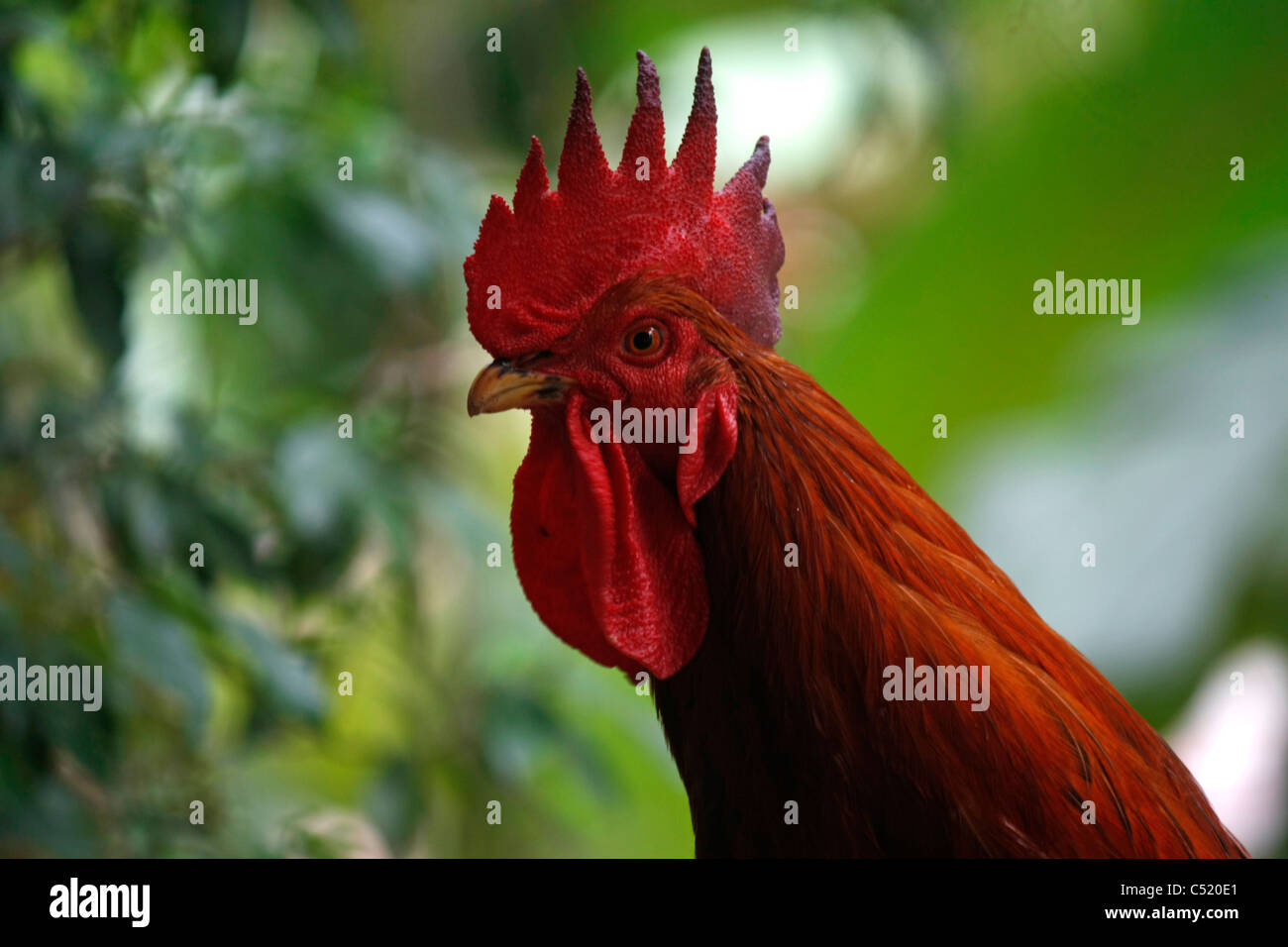 rooster stock photos u0026 rooster stock images alamy