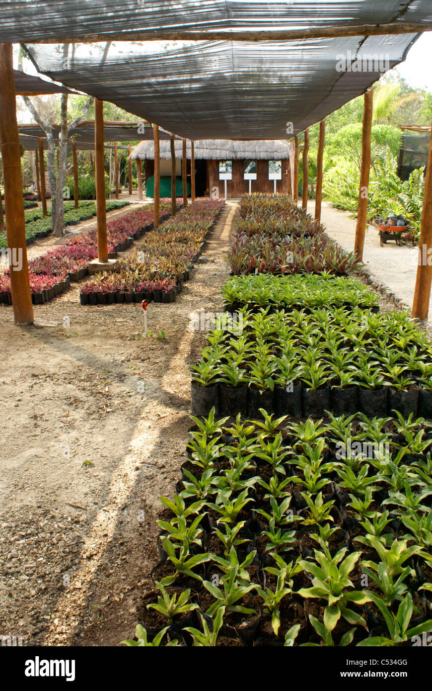Palm tree and red mangrove seedlings at a plant nursery, Hacienda ...