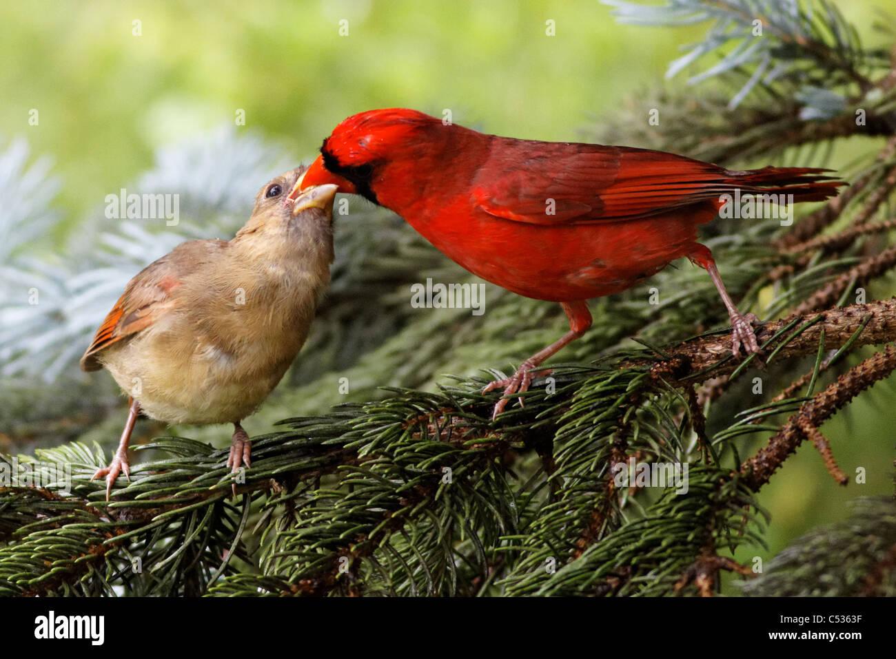 young male cardinal stock photos u0026 young male cardinal stock