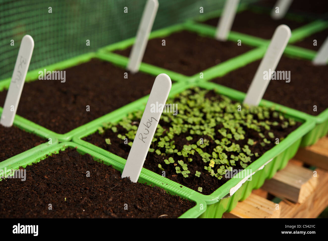 labeled basil seeds sprouting in seed trays in a greenhouse