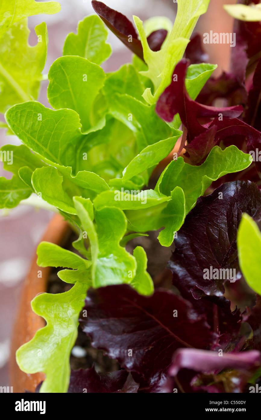 Growing lettuce in a pot - Lettuce Growing In Pot