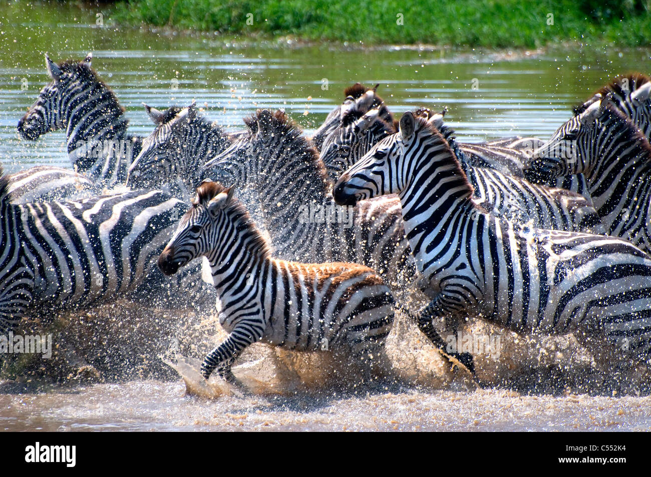 Zebras Running Through Water Herd of Zebras running...