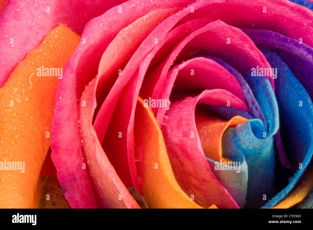 Natural Rainbow Rose - not photoshopped, the flower is ...