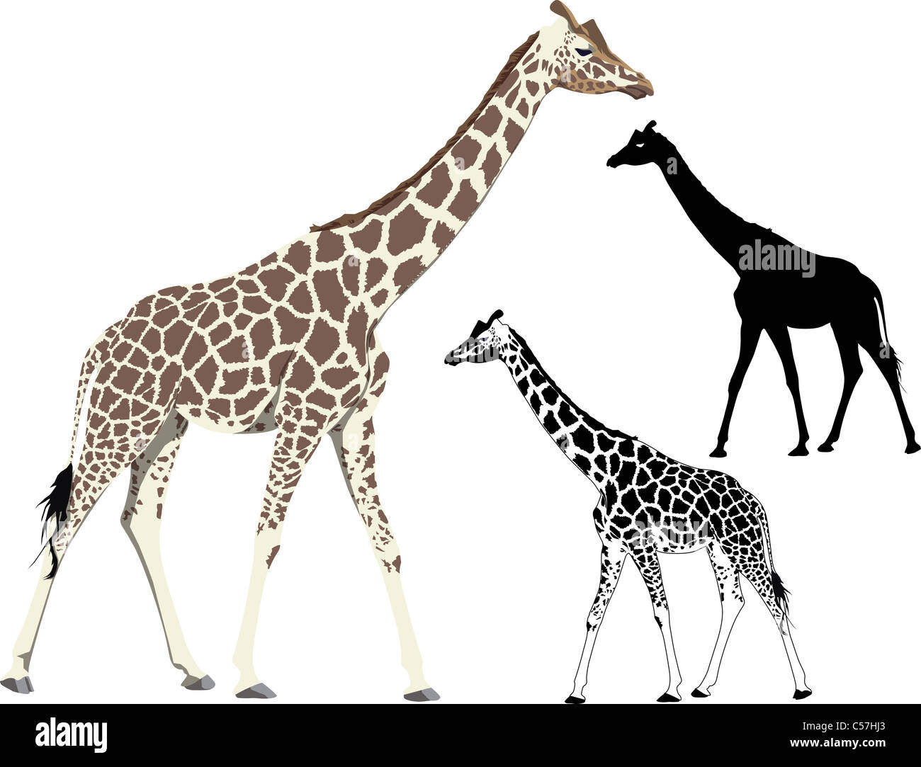 vector illustration and silhouette of walking standing giraffe