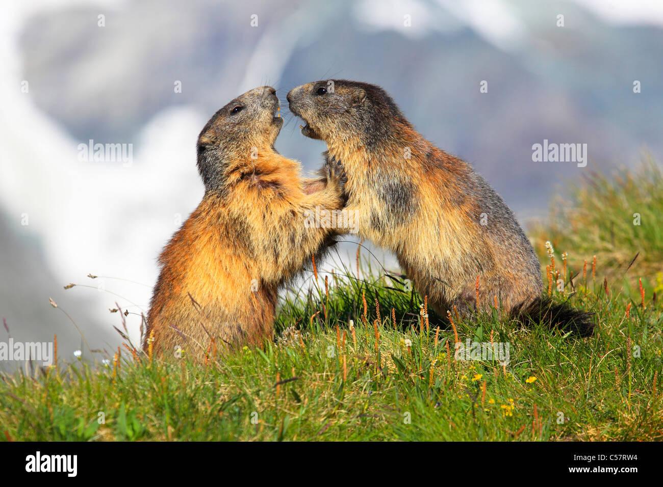2 alps marmot groundhog alpine fauna alpine mountain fauna