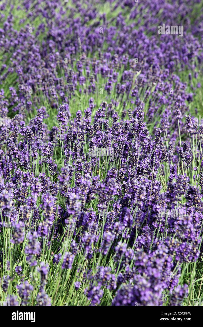Garden Centre: Lavender, Arboretum Garden Centre, Leighinbridge, Co