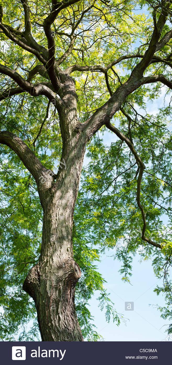 Gleditsia triacanthos sunburst honey locust tree