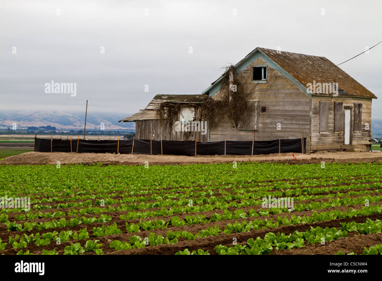 Old Abandoned Farmhouse And Lettuce Crops In Salinas California USA