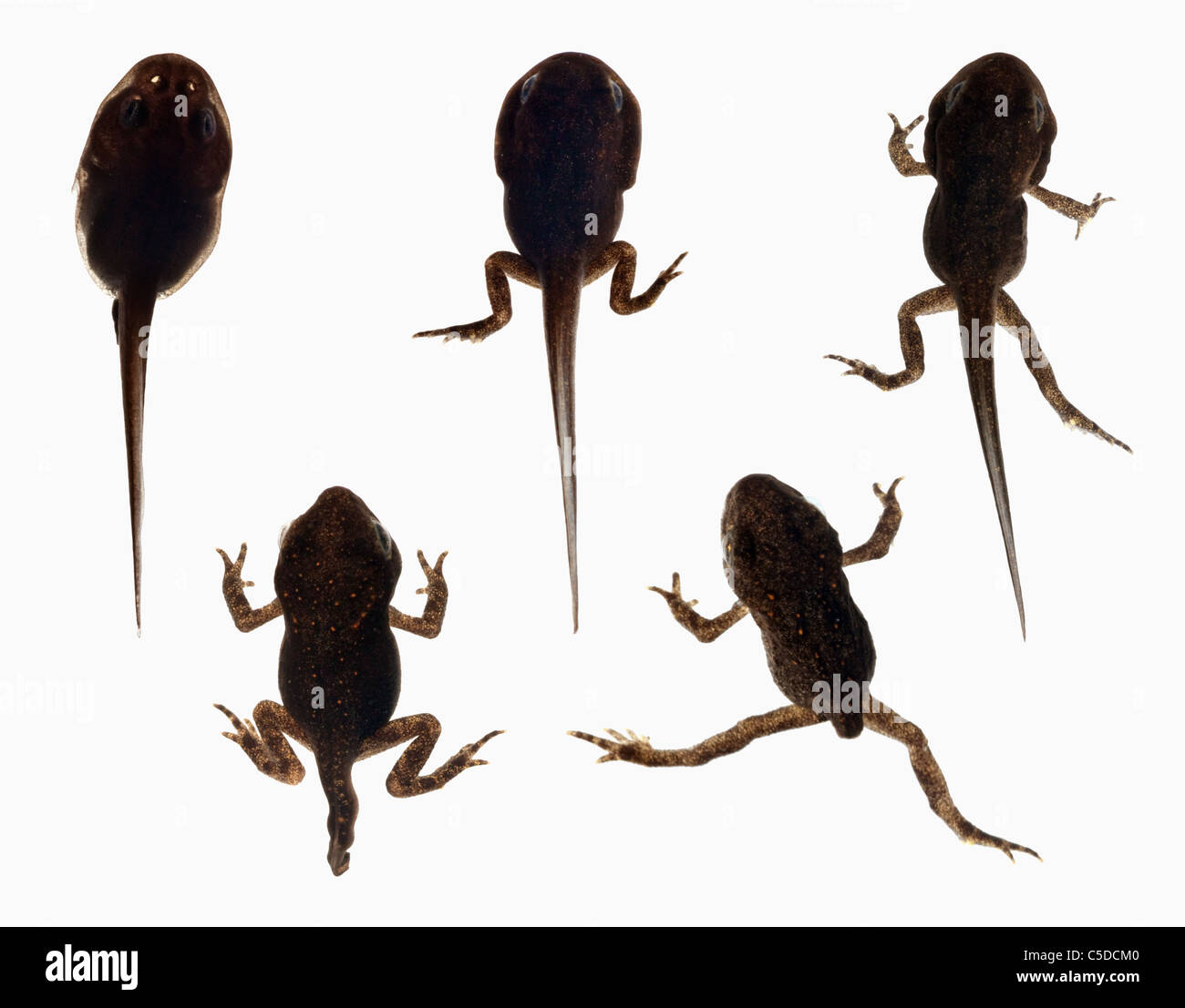 Sequential development of a frog from tadpole to adult for Frog transformation