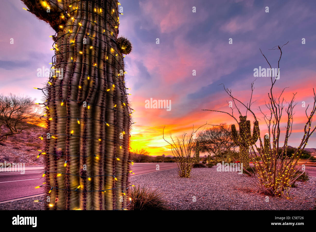 These huge Saguaro Cactus have been covered in Christmas lights