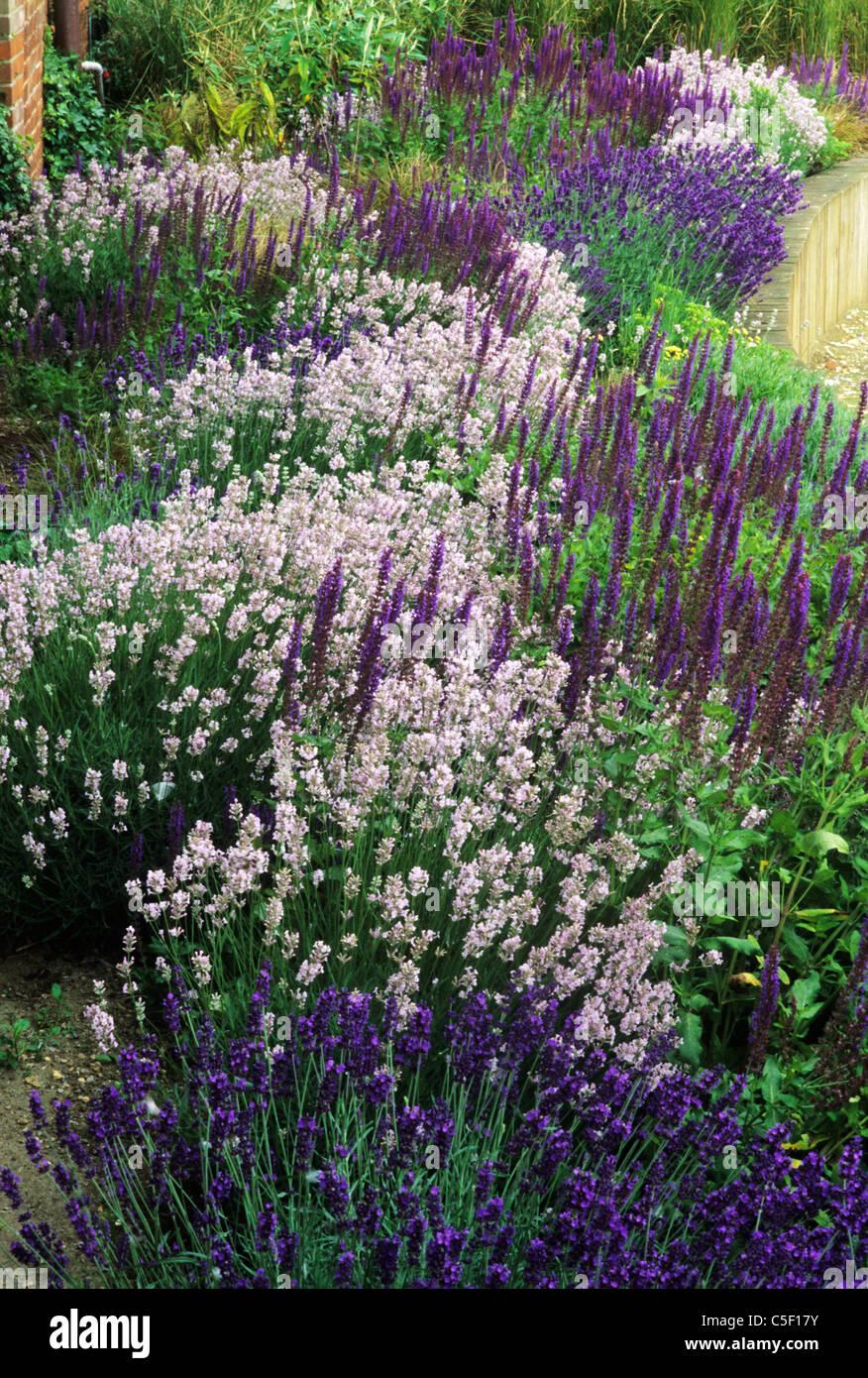 Purple Border Raised Bed Lavender Lavandula Garden Plant