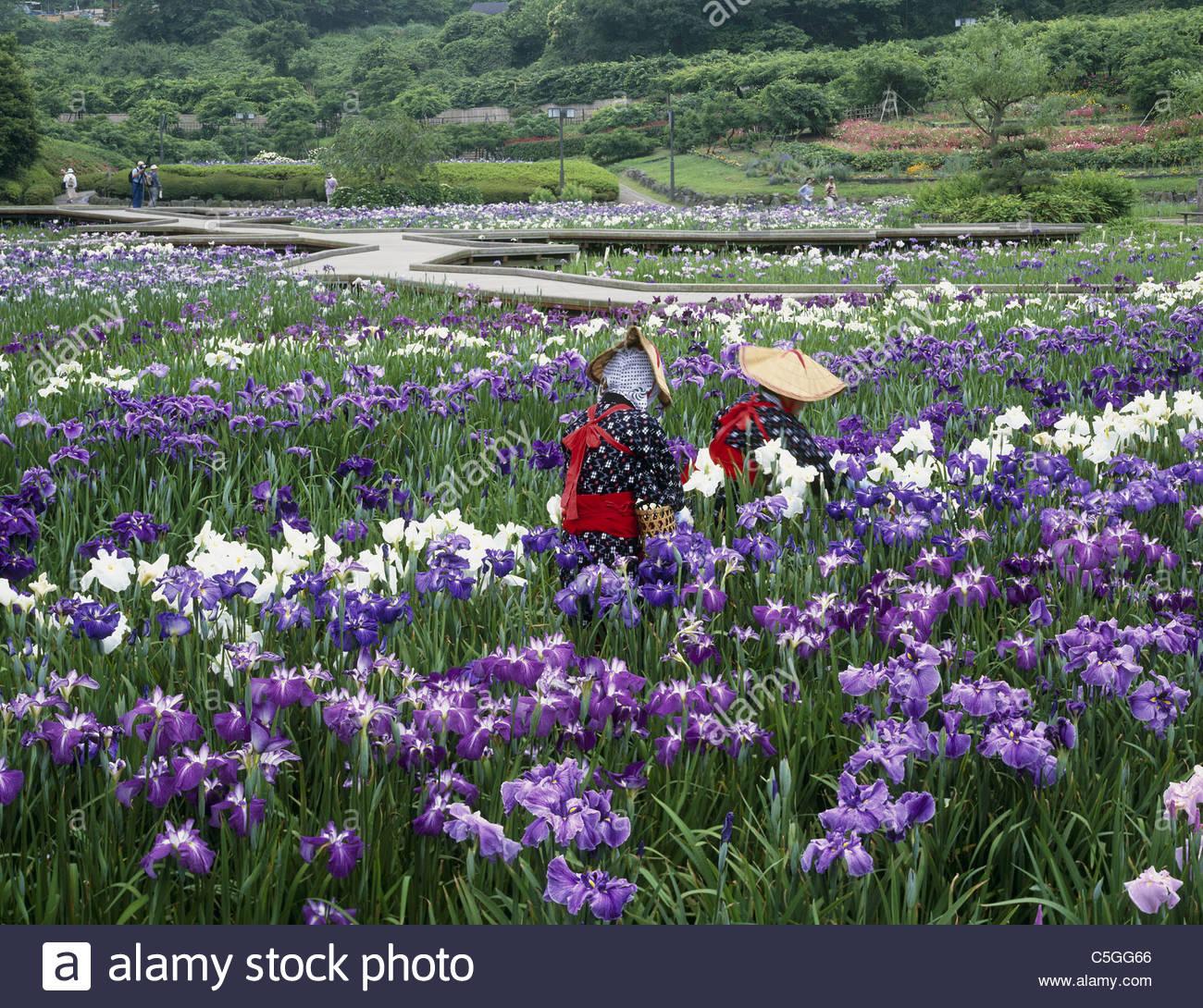 Stock Photo   Yokosuka Iris Garden, Yokosuka, Kanagawa, Kanto, Japan