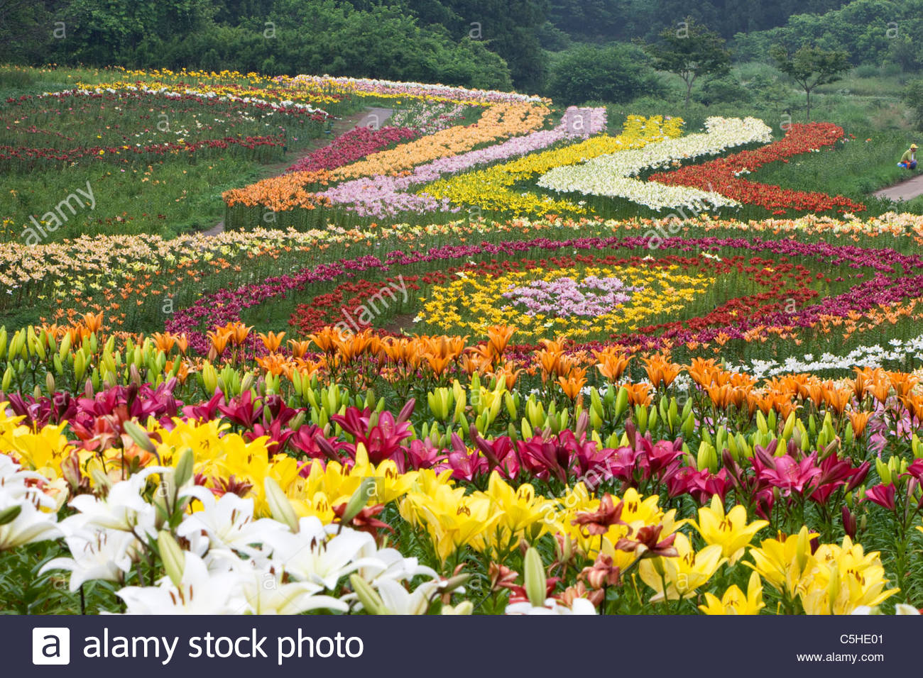 lilies field Free essay: lilies of the field is a book written by william barrett mr ralph nelson, a producer, was introduced to this book by his agent fred ingles.