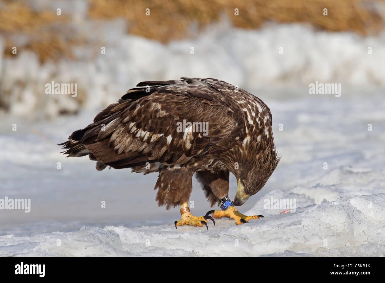 young colour ringed white tailed eagle sea eagle erne