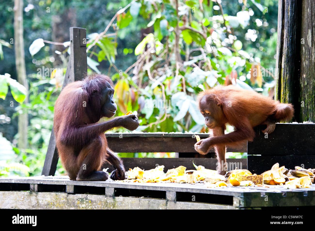 a seven-year-old orangutan Orangutan M W