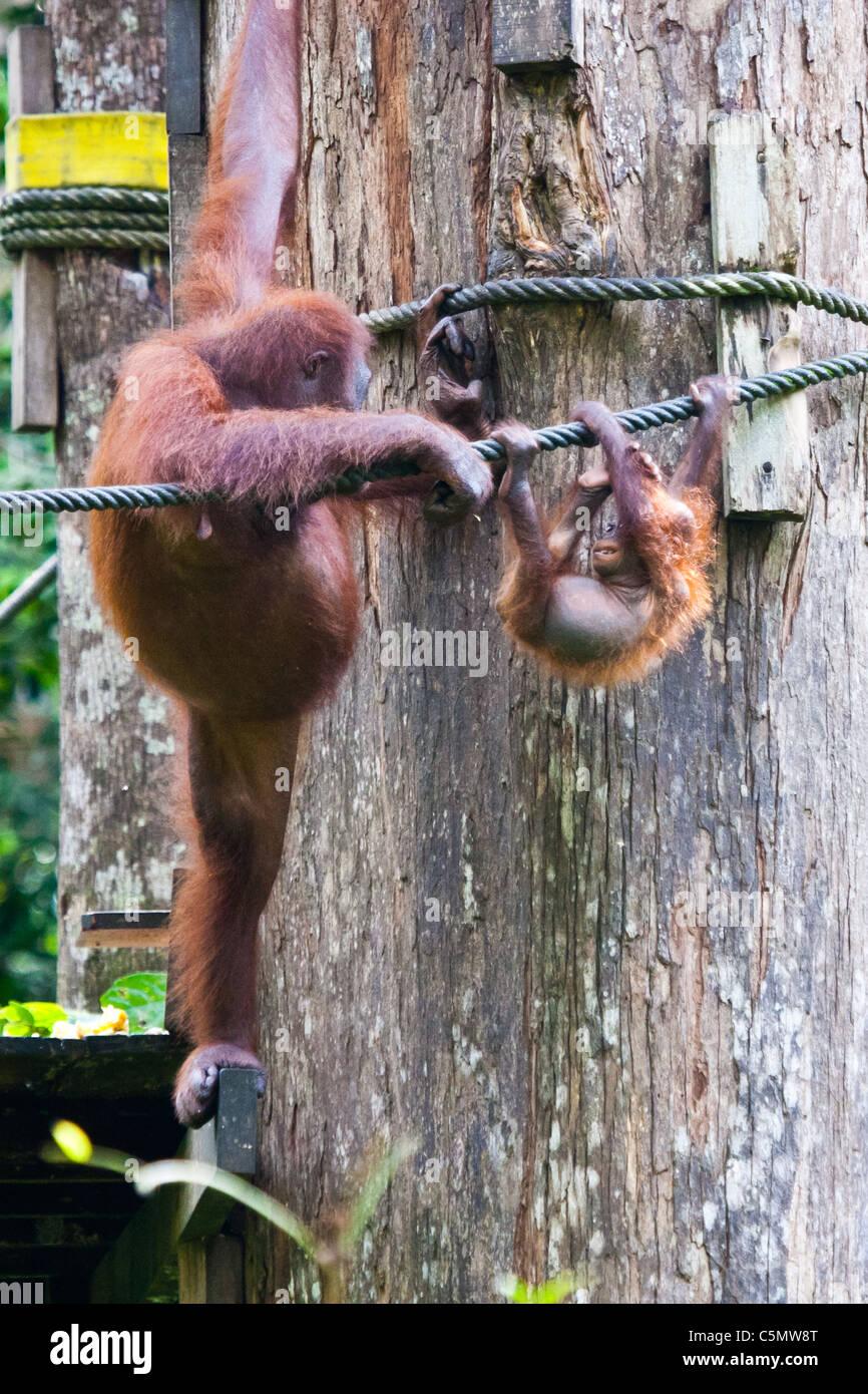 orangutan  Pongo pygmaeus  Orangutan M W