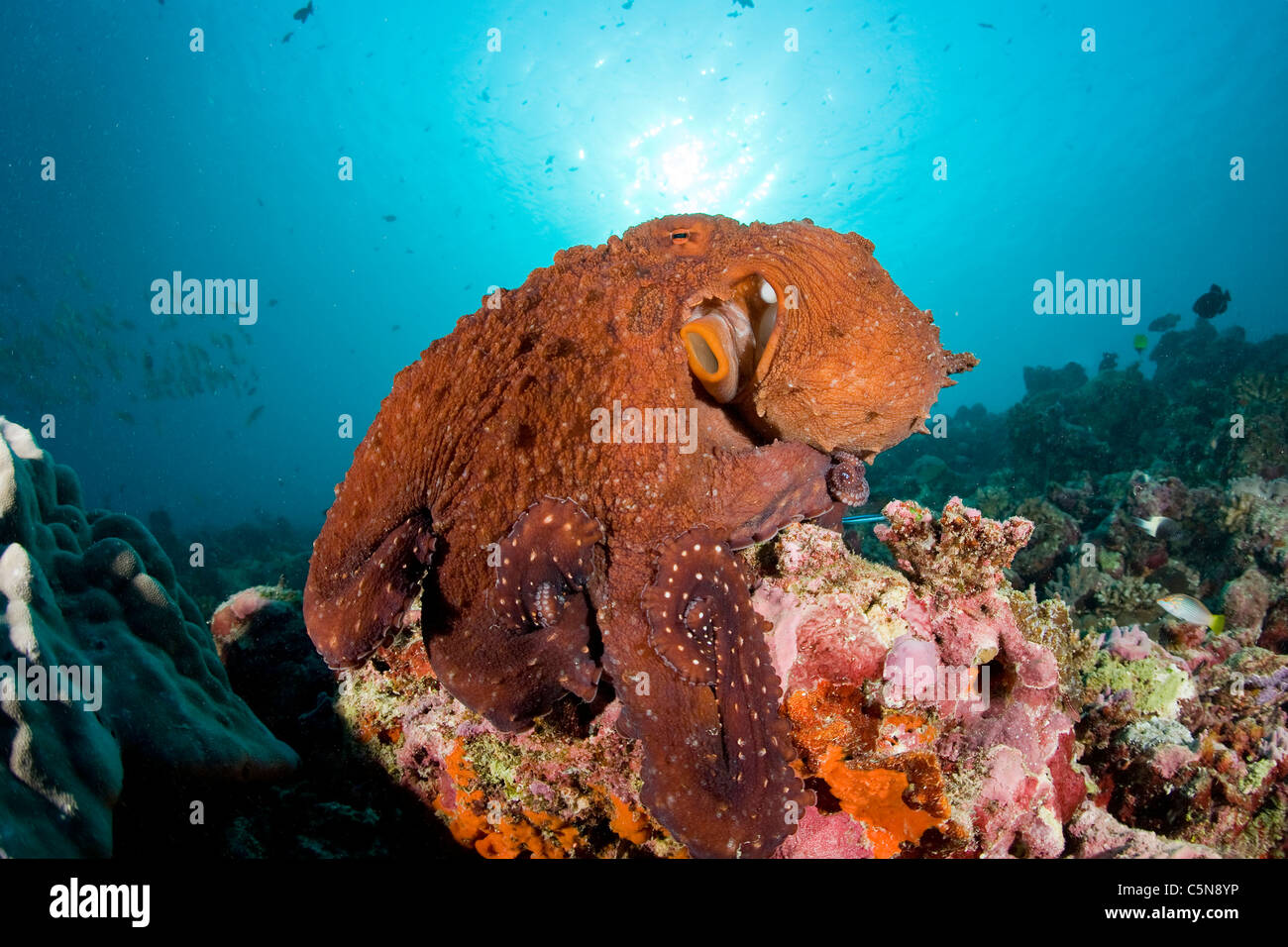 Common Octopus on Coral Reef, Octopus vulgaris, Indian ...