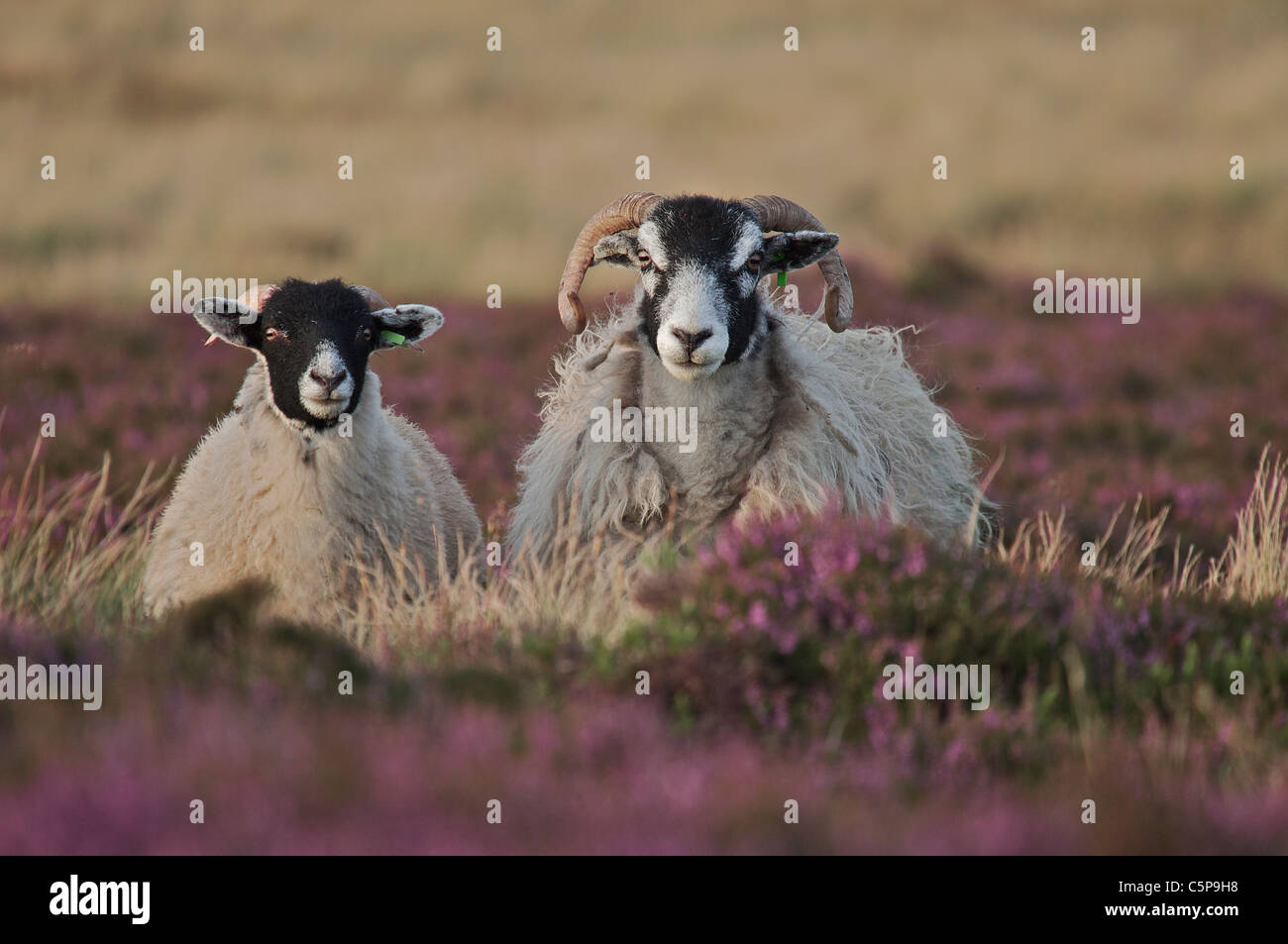 sheep ovis aries on heather moorland northumberland