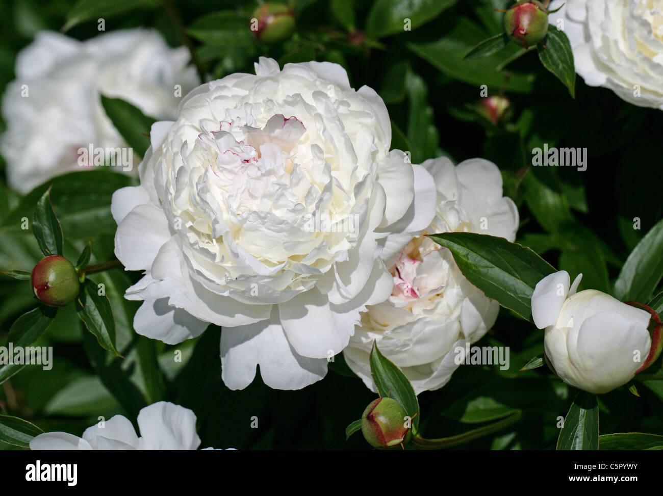 Chinese Peony Common Garden Peony Garden Peony Herbaceous Peony