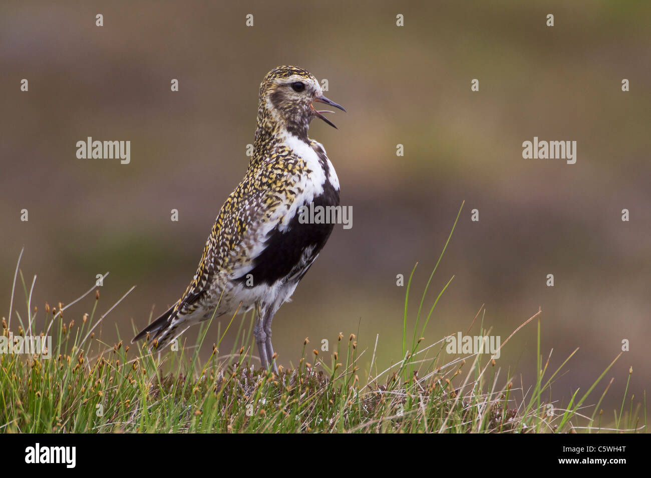 Wh where is the golden isles - Golden Plover Pluvialis Apricaria Adult In Summer Plumage On Moor Calling
