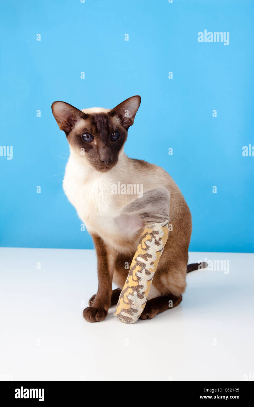 chocolate point siamese cat with broken paw / leg in bandage ...