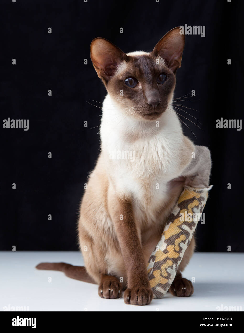 chocolate point siamese cat with broken paw leg in