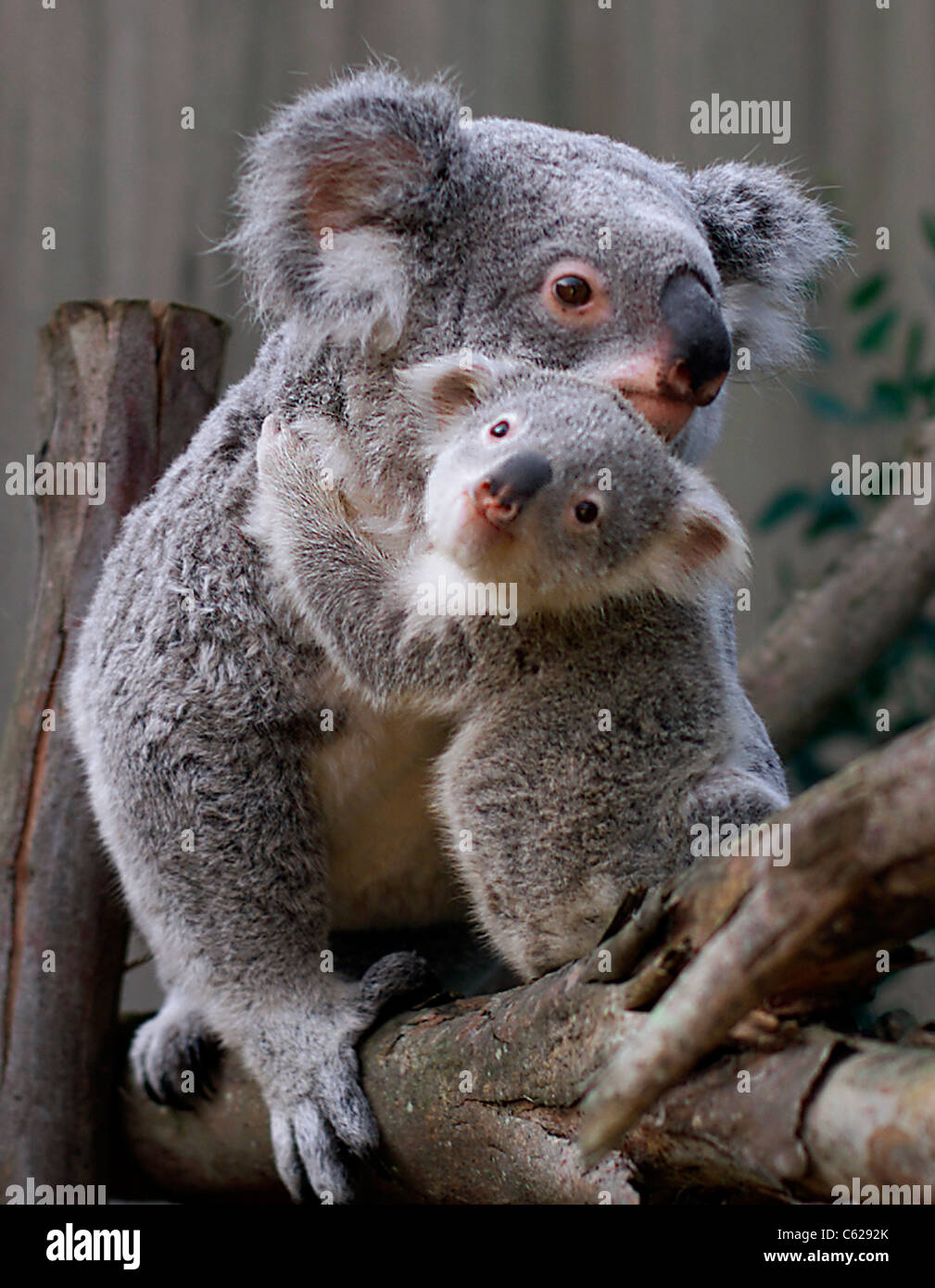 Koala bear with joey--mammal Australia nature mother baby ...