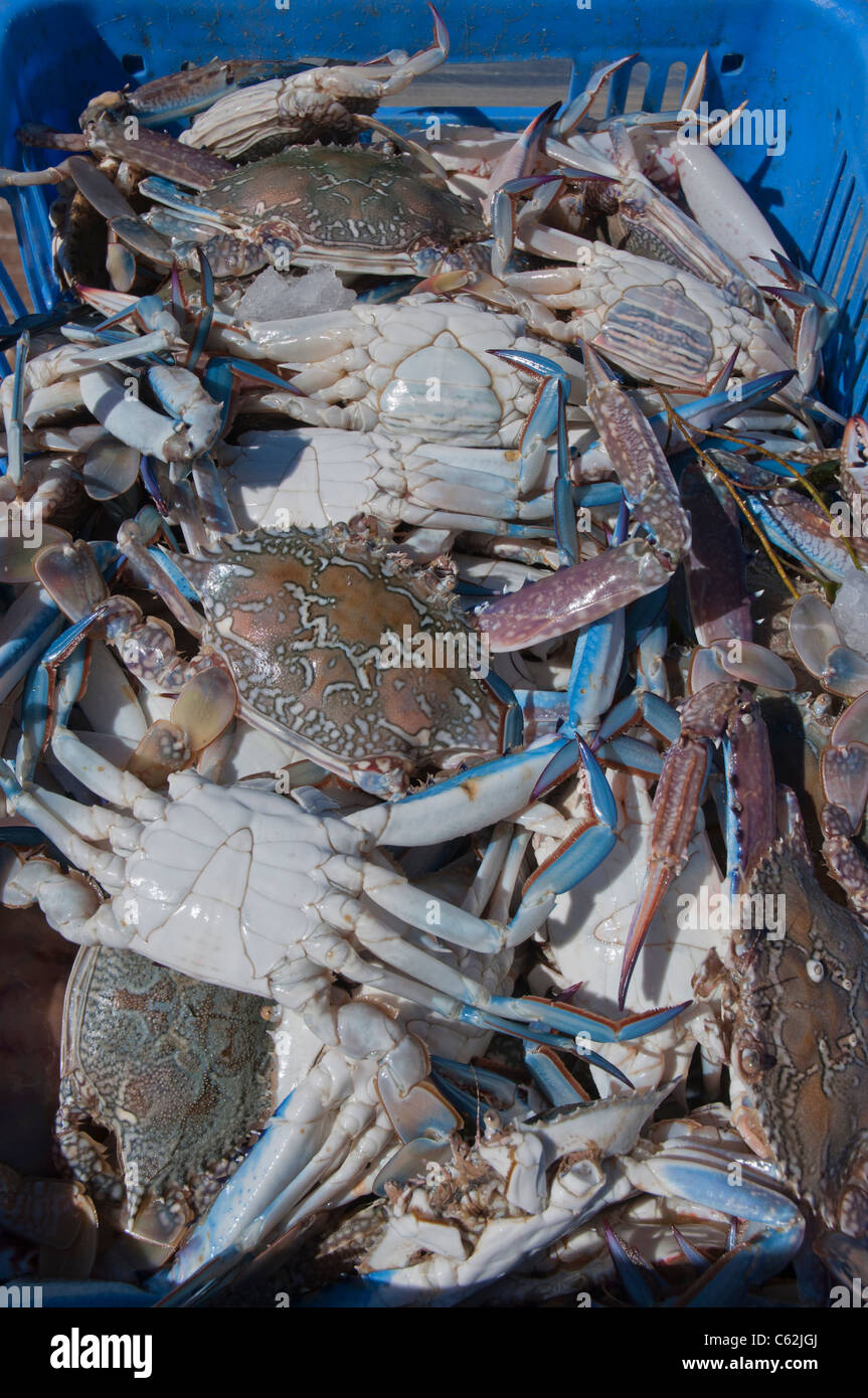 Baskets of blue swimmer crabs unloaded from a fishing boat for Blue crab fishing