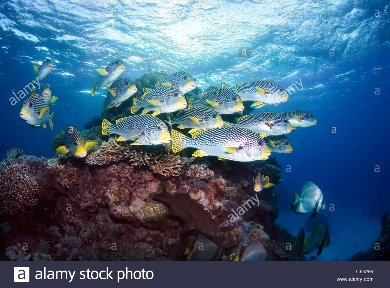 Great Barrier Reef Fish - Species, Pictures, Information &amp- more
