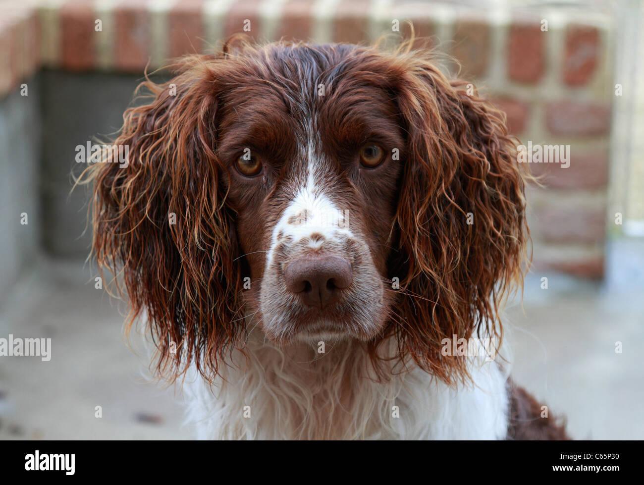 Head shot of Springer Spaniel gun dog in a kennel Stock ...