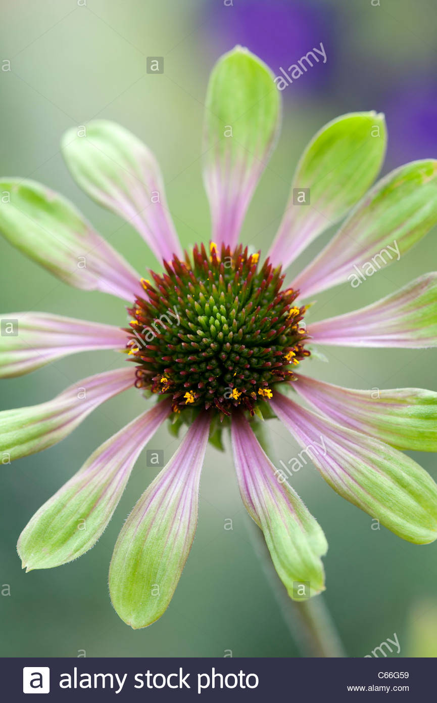 echinacea purpurea 39 green envy 39 coneflower stock photo. Black Bedroom Furniture Sets. Home Design Ideas
