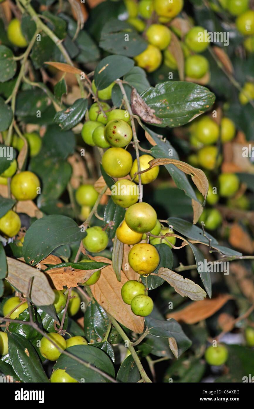 ziziphus mauritiana indian jujube indian plu miao