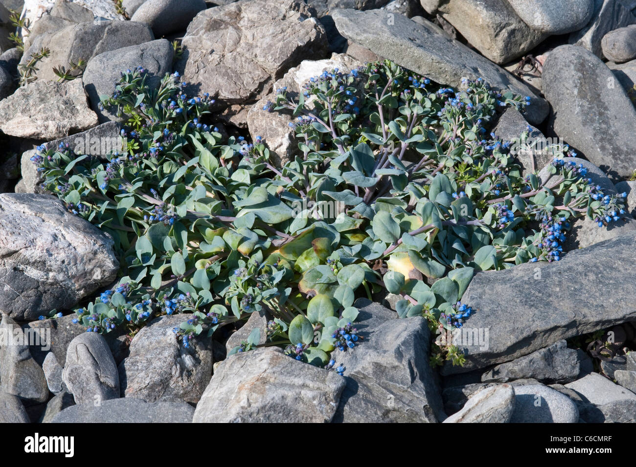 Oyster Plant Mertensia maritima flowering growing on shingle