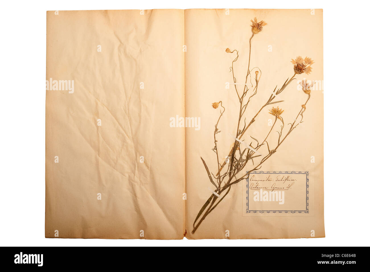 Beautiful dried and pressed flower on old gone yellow paper stock beautiful dried and pressed flower on old gone yellow paper mightylinksfo