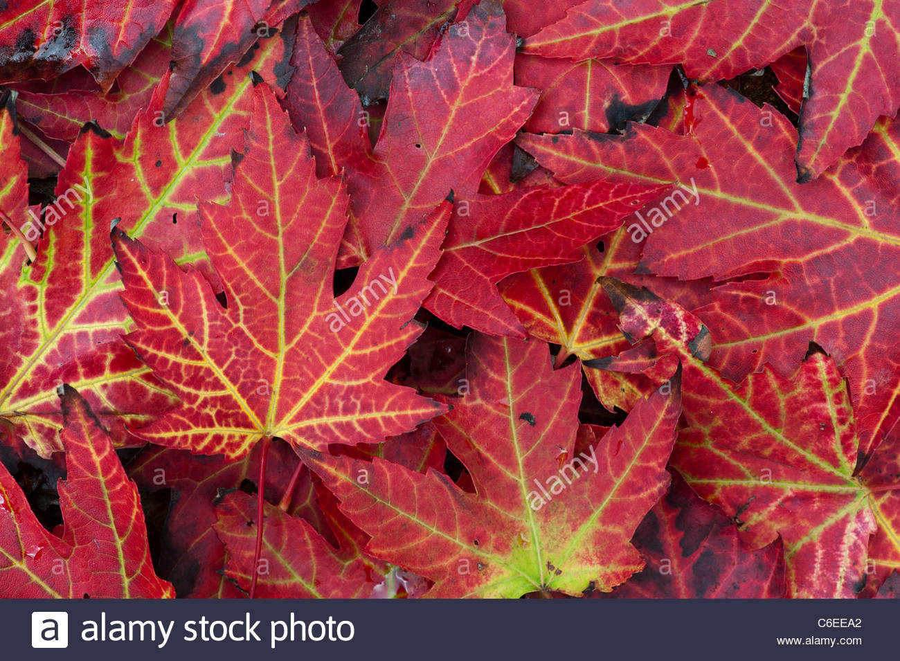 Japanese maple leaves changing colour in autumn red acer Japanese maple leaf