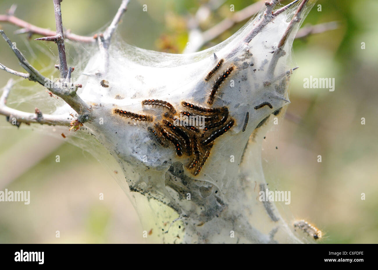 Lava and protective silk tent of the Brown tail moth (Euproctis chrysorrhoea) in a & Lava and protective silk tent of the Brown tail moth (Euproctis ...
