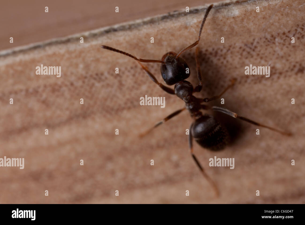 a macro photo of wood ants invaded human kitchen, on cupboard ...