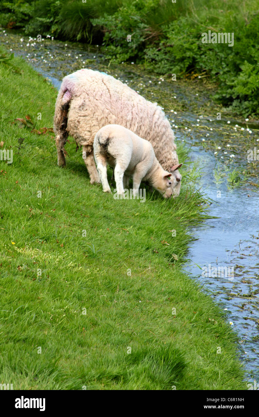 welsh lamb and sheep in a green pasture drinking water from a
