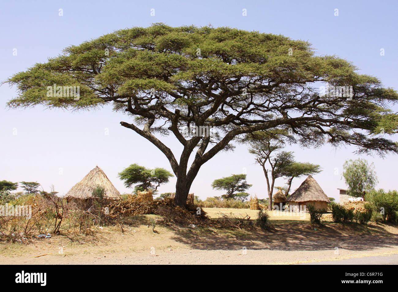 how to draw a acacia tree