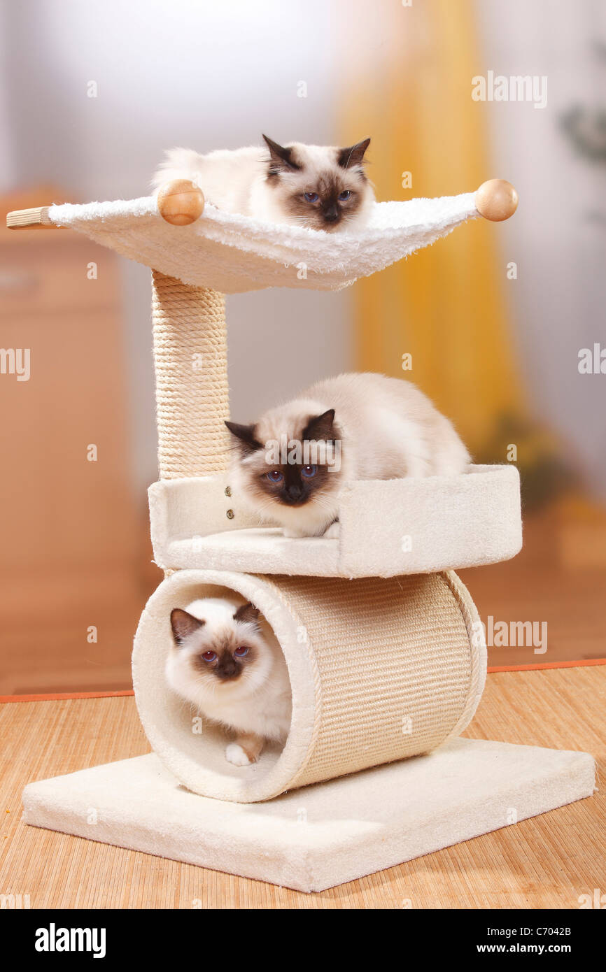 Sacred Cats of Birma, seal-point and chocolate-point / Birman, cat ...