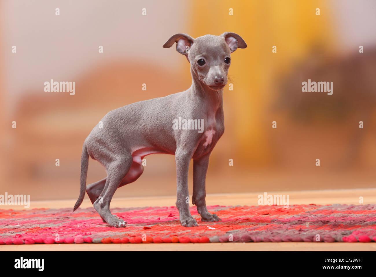 Italian Greyhound, pup...