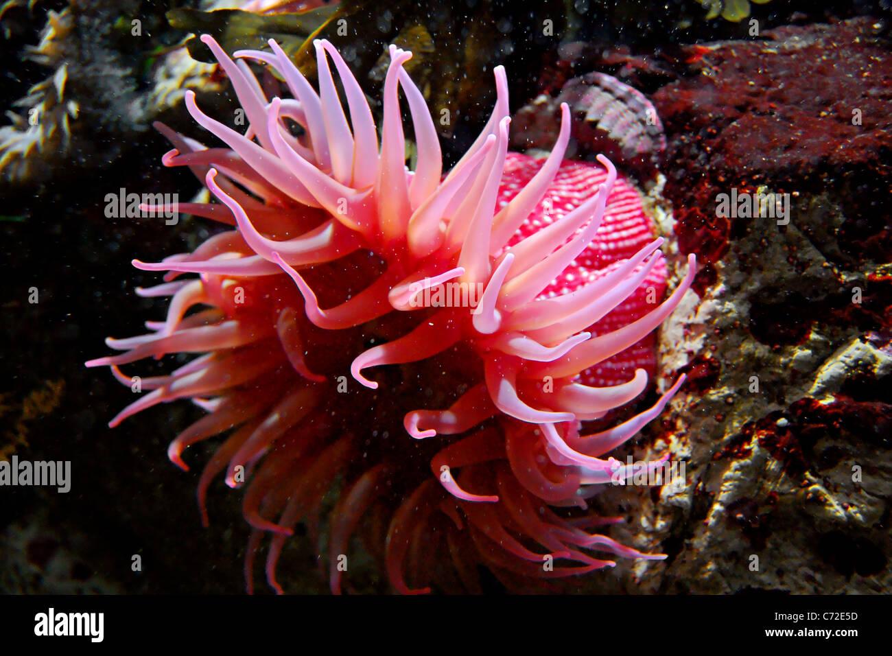 sea anemone monterey bay aquarium california stock photo