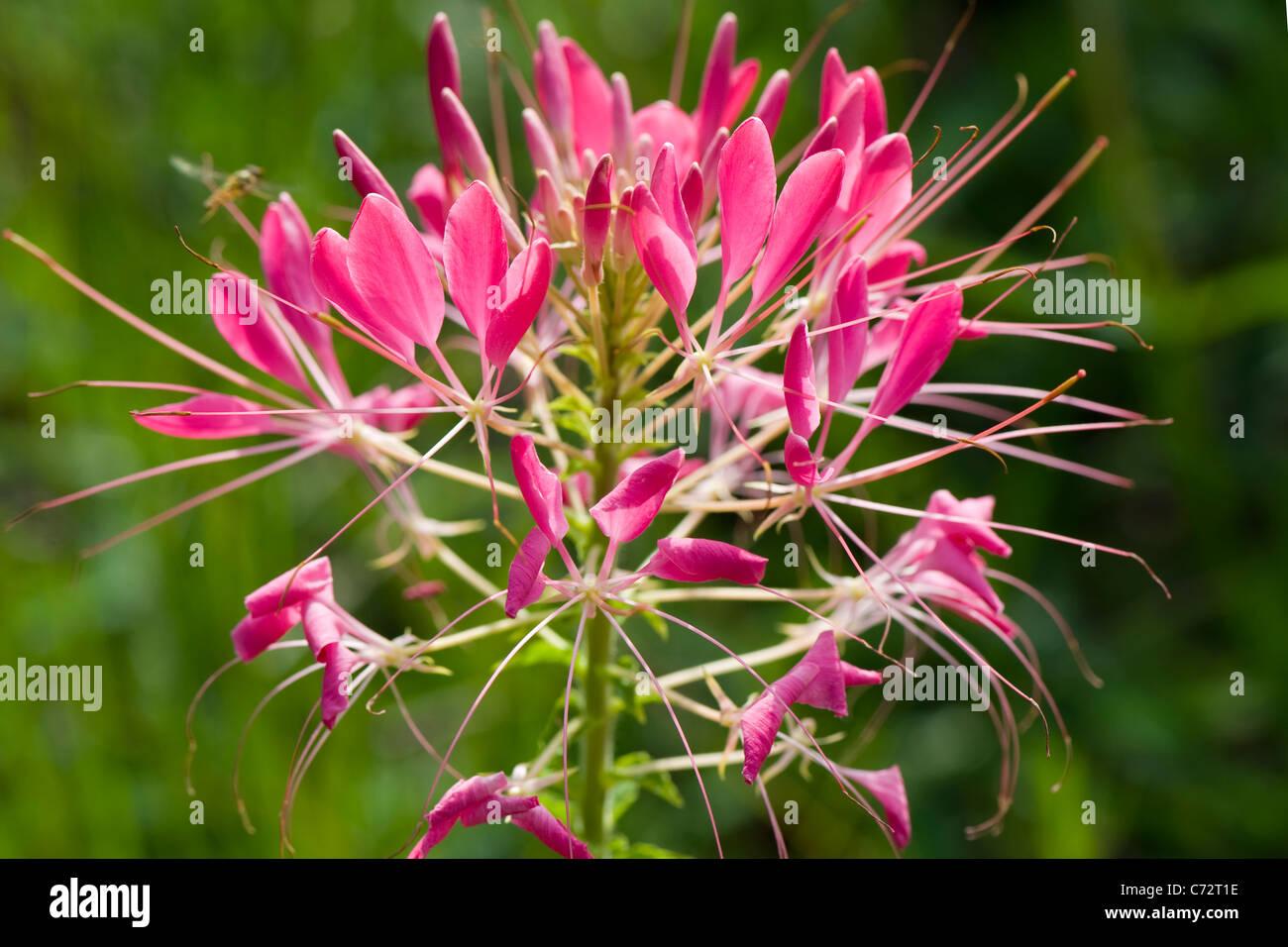 Cleome Hassleriana Pink Spider Flower Stock
