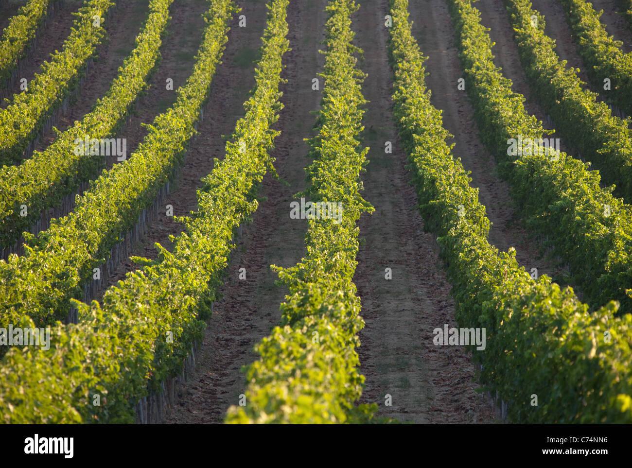 Rows of vines in the Bulgari vineyard near San Casciano dei bagni ...