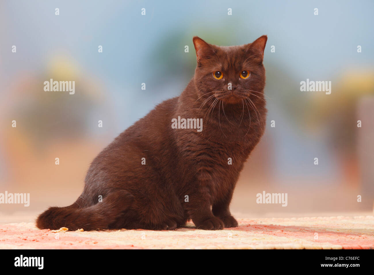 Chocolate British shorthair cat Stock Photo, Royalty Free Image ...