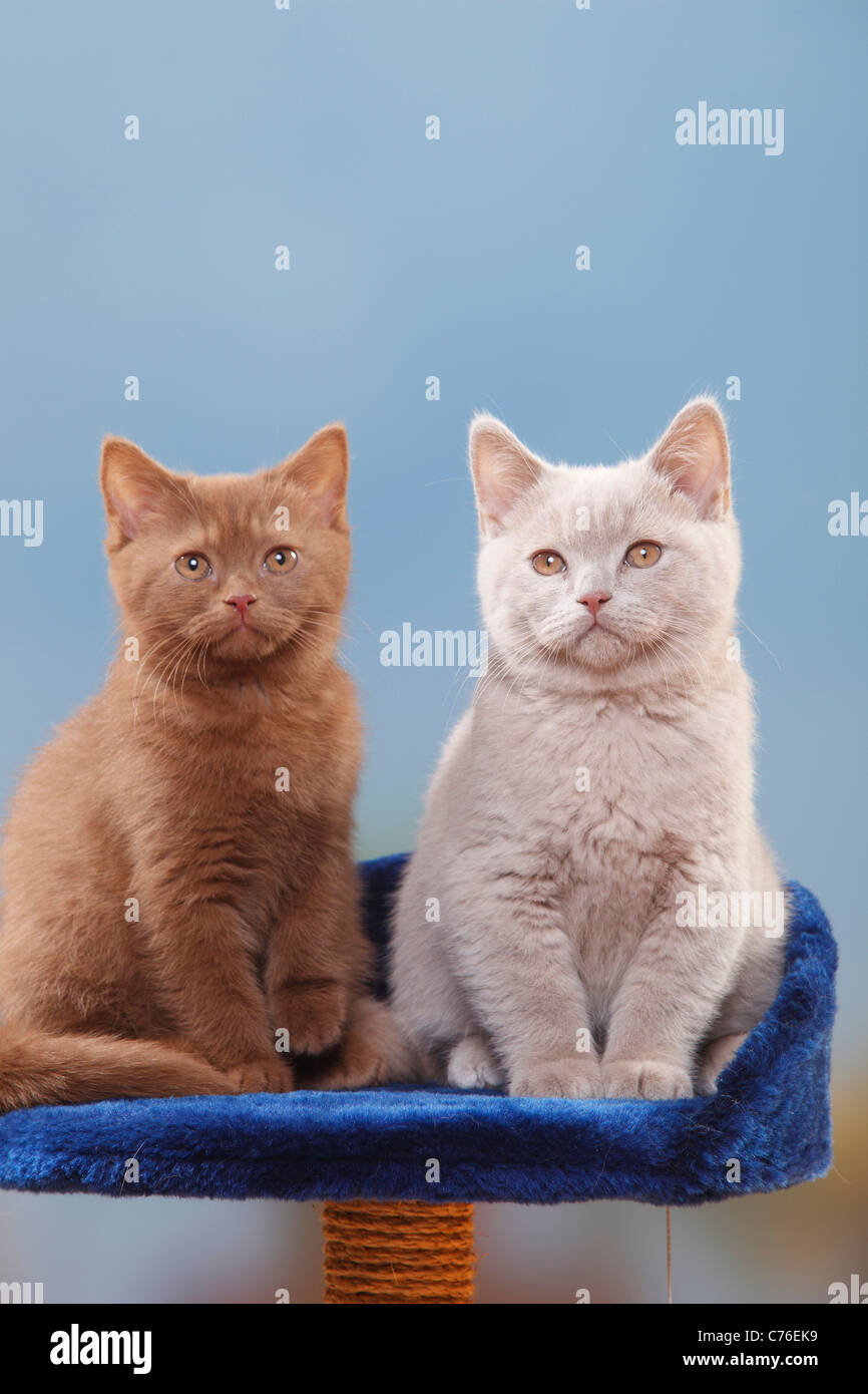 British Shorthair Cats kittens cinnamon and fawn 3 month cat